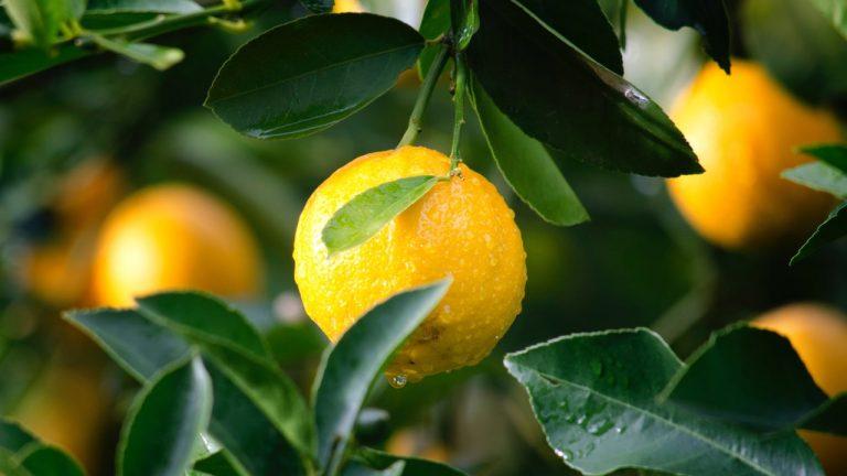 Zitronen am Baum – Quelle von echter Zitronensäure